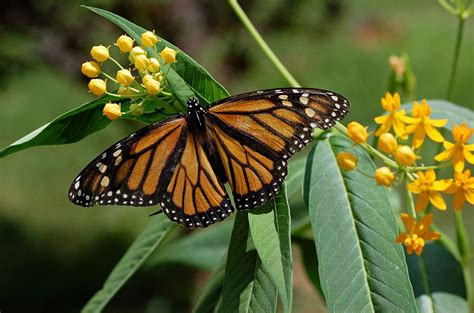 Monarch (butterfly) - Simple English Wikipedia, the free ...