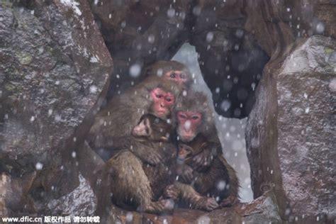 Monitos se abrazan por el intenso frio que asola a China ...
