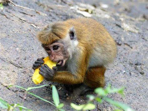 Monkey eating mango - Picture of Chamila Tours, Negombo ...