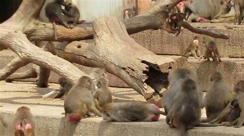Monos en el Zoo de Madrid   YouTube
