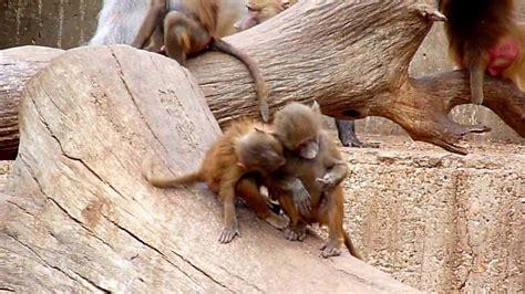 Monos salidos   YouTube