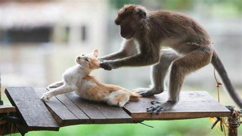 monos y gatos #1   si no te ríes no eres humano   YouTube