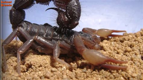 Most Dangerous Scorpion In The World