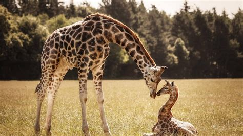 Mother Giraffe Baby Giraffe Wallpapers - 1920x1080 - 710605