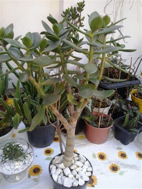 Muda Suculenta Planta Jade Crassula Ovata Bonsai - R$ 26 ...