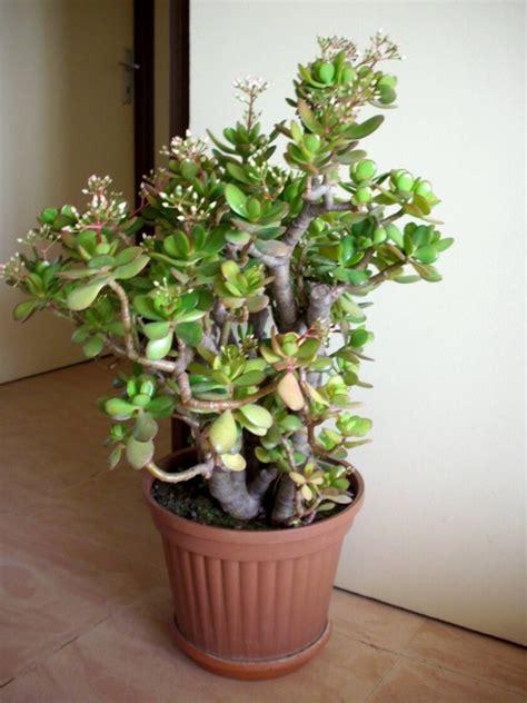 Mudas Planta Jade: Arvore Da Fortuna - R$ 27,00 em Mercado ...