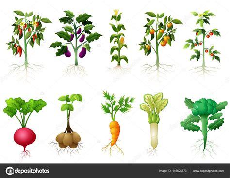 Muitas plantas tipo de vegetais com ilustração de raízes ...