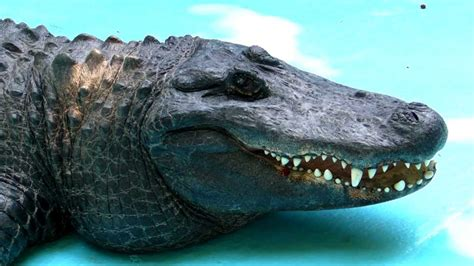Muja the World s Oldest Alligator has Surgery   YouTube