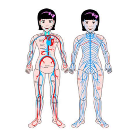 MUÑECO ARTICULADO NIÑA   Sist. Nervioso y Circulatorio ...