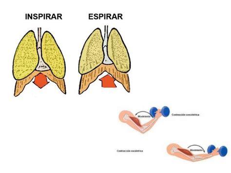 Musculación, las dos fases del movimiento   Punto Fape