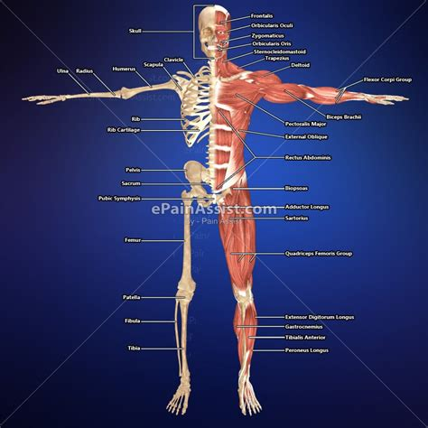 muscular system skeletal muscle   DriverLayer Search Engine