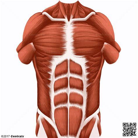 Músculos Abdominales   Atlas de Anatomía del Cuerpo Humano ...