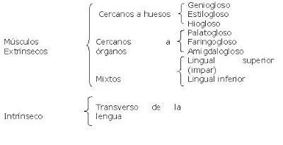 MUSCULOS DE LA LENGUA ~ Garabatos médicos