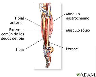 Músculos de la parte baja de la pierna: MedlinePlus ...