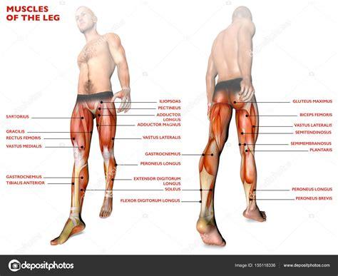 Músculos de la pierna, cuerpo humano, Anatomía, sistema ...