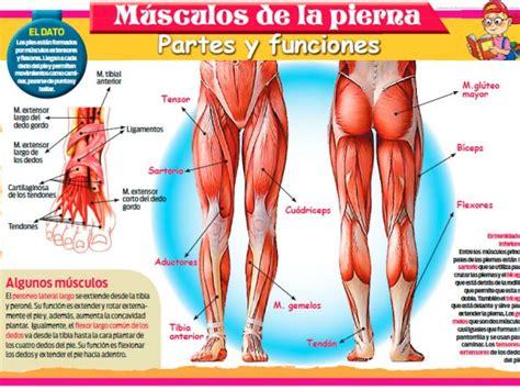 Músculos de la pierna: partes y funciones | Escolar ...