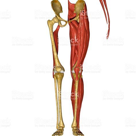 Músculos De Las Piernas Stock Foto e Imagen de Stock ...
