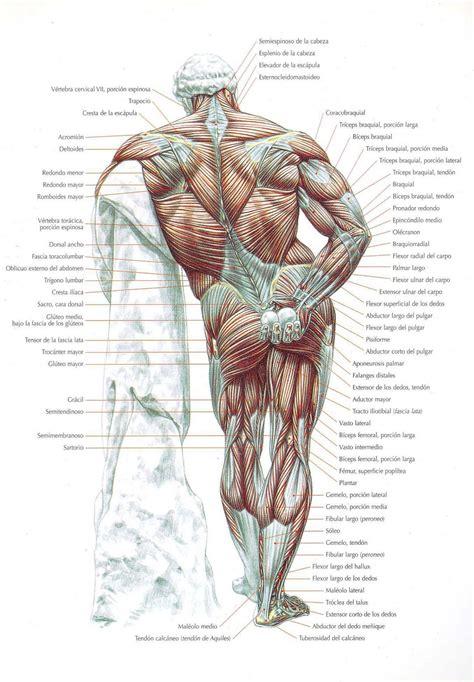 Músculos del Cuerpo Humano   Grupos, Tipos y Funciones.