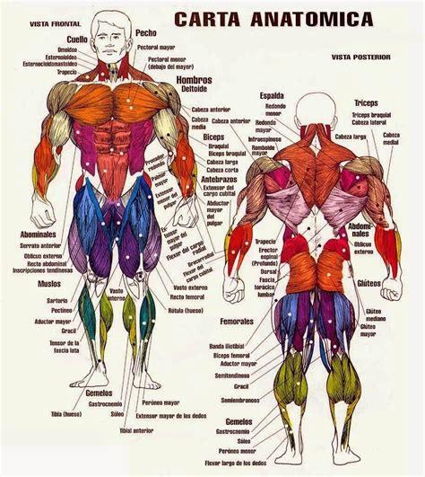 musculos del cuerpo humano y sus nombres   Buscar con ...
