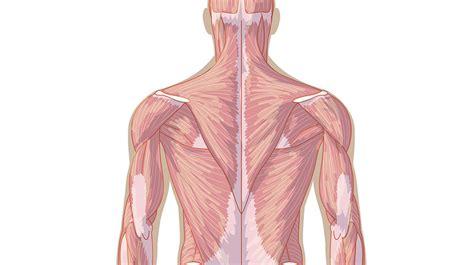 Músculos del cuerpo, vista de espaldas  Primaria  Juego ...