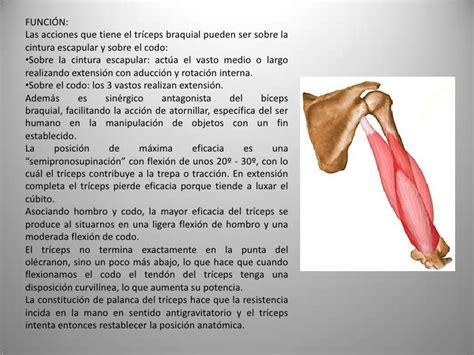 Musculos del miembro superior