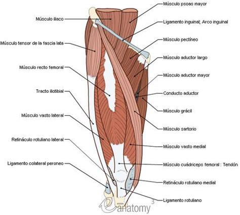 Músculos: sistema muscular - Cuerpo humano : Compartimento ...