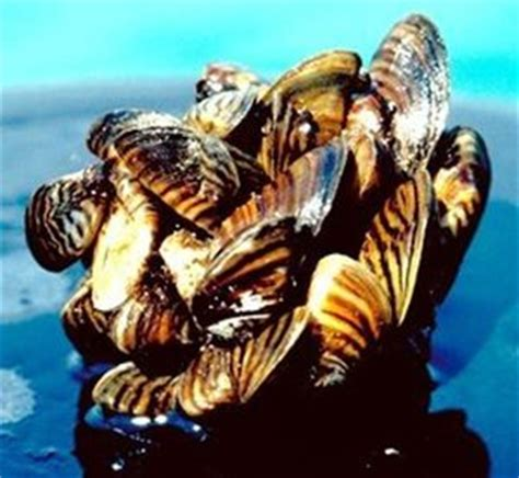 Mussel invasion closes in on Northwest waters | The ...