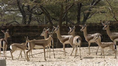 Nacen 6 crías de gacela en el Zoo de Barcelona para ...