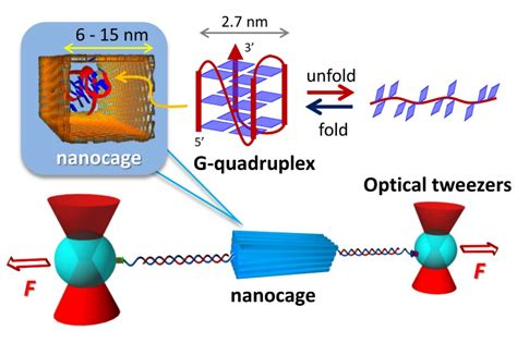 Nanocages dramatically facilitate structure formation of ...