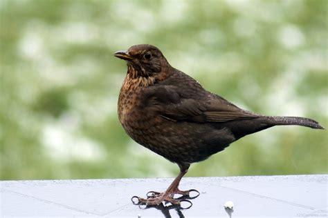 National Bird Of Sweden  Common Blackbird   123Countries.com