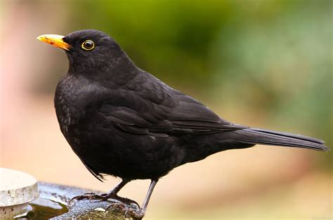 National Bird Of Sweden -Common Blackbird - 123Countries.com