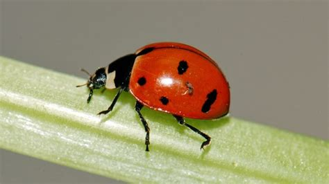 Native ladybugs lose ground to foreign species ...