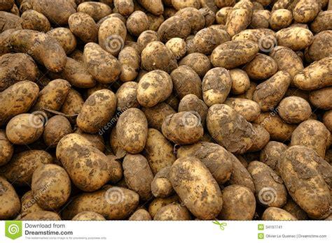 Natural Organic Potatoes In Bulk At Farmer Market Stock ...
