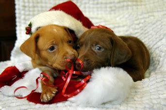 Navidad perruna en fotos, vídeos y gifs: los perros más ...