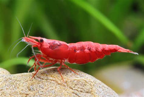 Neocaridina heteropoda var. red Fire red | Forumacvarist ...