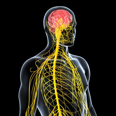 Nervous System Of Male Front Side View Stock Illustration ...