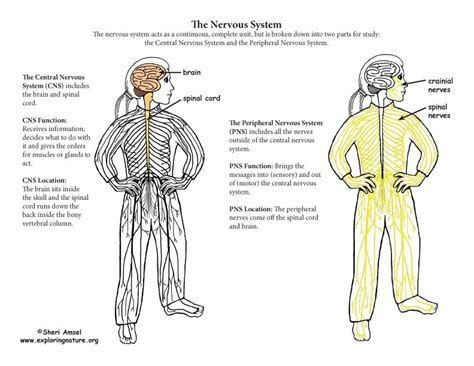 Nervous System Parts   The Peripheral Nervous System