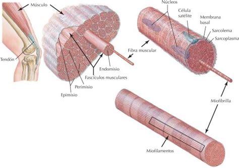 Netter Blog: Sistema muscular: estructura del músculo ...