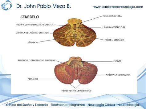 Neuroanatomia anatomia cerebelo