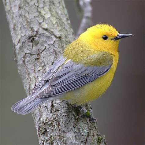 New World warbler - Wikipedia