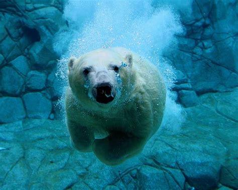 Niedźwiedź polarny   król północy | DinoAnimals.pl
