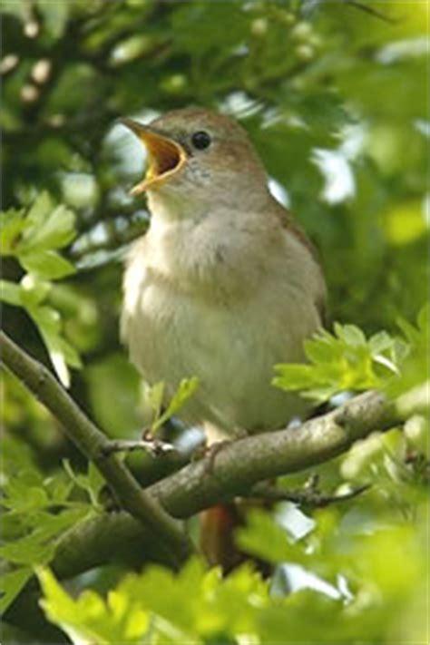 Nightingale Singing | www.pixshark.com   Images Galleries ...