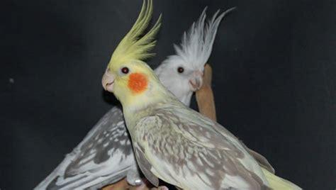 Ninfas Aves | Mascotasyperros.com