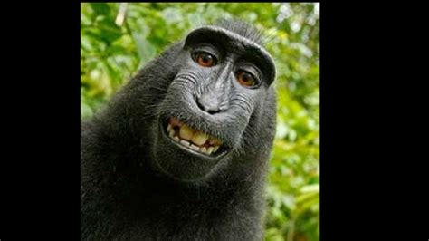 No copyright for animals: US judge rules against selfie ...