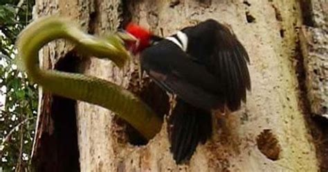 ¡No tengo tele! / El pájaro carpintero que defendió a ...