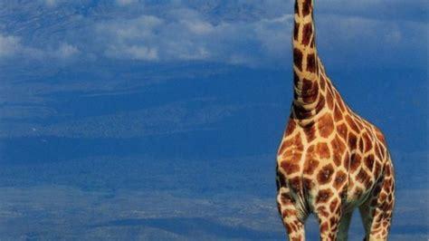Nombre científico de la jirafa