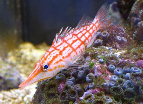 Non Tropical Fish For Aquariums   Aquarium Design Ideas