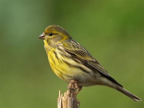 Nuestras aves silvestres de canto   Axarquiaviva