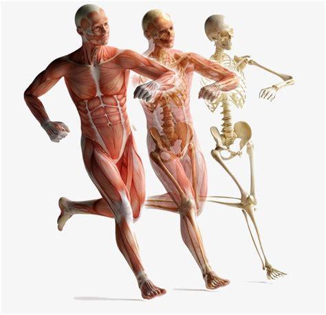 O Movimento Do Corpo Humano Anatomia Muscular, O Esqueleto ...