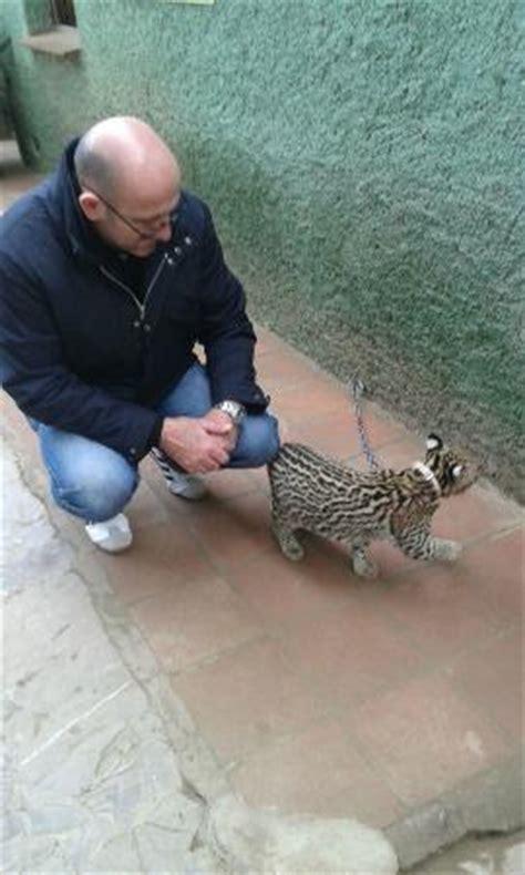 ocelote con collar y cadena: fotografía de Zoo Castellar ...